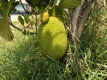 Jack Fruit i träd Royaltyfria Bilder