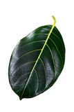 Jack fruit leaf Stock Photography