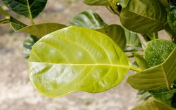 Jack fruit leaf. Close up of Jack fruit leaf Royalty Free Stock Image