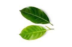 Jack fruit leaf isolated on white Royalty Free Stock Photos