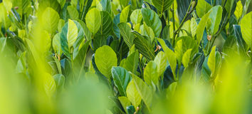 Jack fruit leaf Royalty Free Stock Images