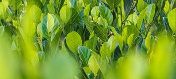 Jack fruit leaf Royalty Free Stock Images