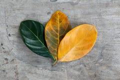 Jack fruit leafs Royalty Free Stock Photos