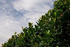 Jack fruit leaves Royalty Free Stock Photo