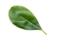 Jack Fruit leaves. It is a perennial Stock Image