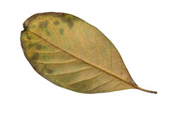 Jack Fruit leaves Stock Images