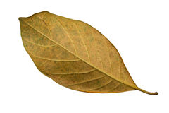 Jack Fruit leaves Royalty Free Stock Photo