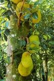 Jack Fruit på trädet Royaltyfri Foto