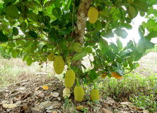 Jack fruit .Phetchaburi.Thailand. Jack fruit tree is kept full to eat peel out the sweet meat Royalty Free Stock Images