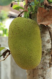 Jack fruit Stock Photography