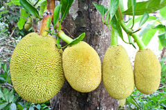 Jack fruit on tree Royalty Free Stock Photography