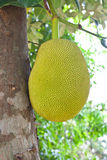 Jack fruit on tree Stock Photos