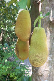 The jack fruit on the tree . Royalty Free Stock Image