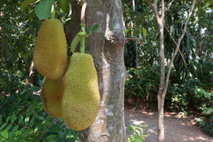 The jack fruit on the tree . Stock Photos