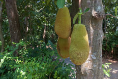 The jack fruit Stock Images