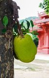 Jack fruit on the tree Stock Photos