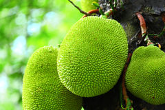 Jack fruit on tree Royalty Free Stock Photos