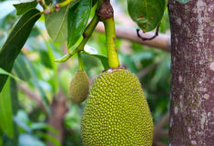 Jack Fruit On Tree Stock Photo