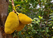 Jack fruit on the tree in garden Stock Photo