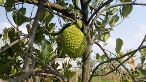 Jack Fruit. A jack fruit in tree from Indonesia Stock Photos