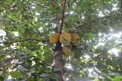 Jack fruit tree with its fruits . Jack fruit tree with its fruits ,some are ripen ready to cut stock image