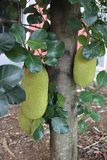 Jack fruit tree with its fruits. Jack fruit tree with its fruits ,some fruits near the ground stock photos