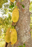 Jack fruit tree (Artocarpus heterophyllus) Stock Photo