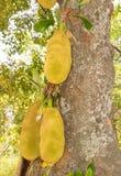 Jack fruit tree Stock Photo
