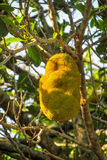 Jack fruit on the tree Royalty Free Stock Photos