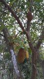 Jack fruit tree Stock Photos