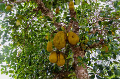 Jack Fruit Tree in Madagascar. Jack Fruit Tree in northern Madagascar Stock Photos