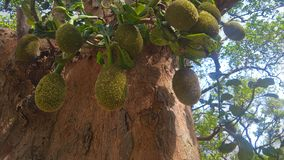 Jack fruit tree. With many young fruits Stock Photography