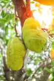 Jack fruit on the tree. Stock Photos