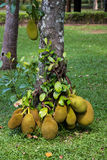 Jack fruit on tree. In the nature Stock Images