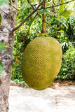 Jack fruit on tree Stock Images