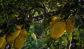 Jack fruit tree in seasonal stock image