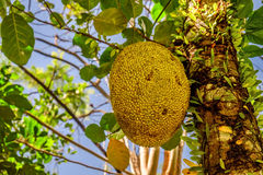 Jack fruit on the tree Royalty Free Stock Photo