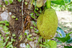 Jack fruit on the tree Stock Images