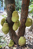 Jack fruit. On tree in ThaiLand Royalty Free Stock Photo