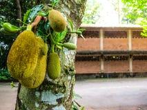 Jack fruit on tree Stock Photography