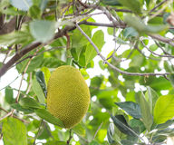 Jack-fruit on tree. A traditional Jack-fruit on tree Stock Photo