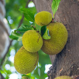 The jack fruit on the tree Stock Photo
