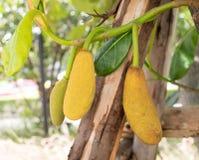 Jack fruit tree Stock Image