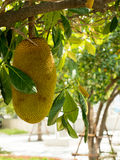 Jack fruit tree Stock Images