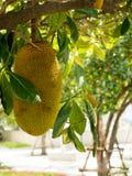 Jack fruit tree Stock Images