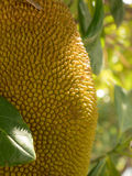 Jack fruit tree Stock Photography