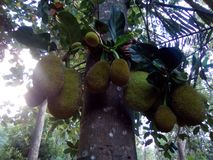 Jack Fruit stock foto's