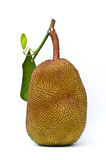 Jack fruit on white background Royalty Free Stock Photography