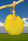 Jack fruit the yellow. And ripe and rotting on the Vole sky clouds Stock Photography