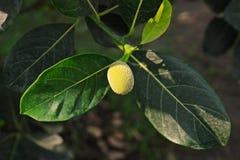 Jack fruit, young fruit Royalty Free Stock Image